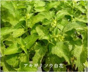 アキギリソウ白花