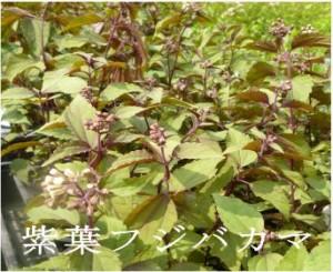 紫葉フジバカマ