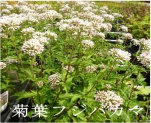 菊葉フジバカマ