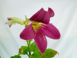 赤花ウバユリ1