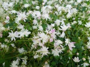四季咲バイカカラマツ